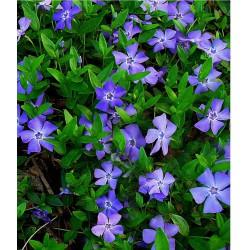 Vinca Minor (plantmat)