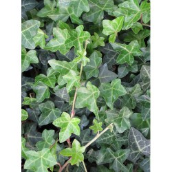 Hedera Helix 'Normandy...