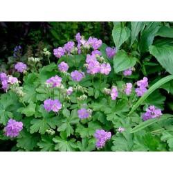 Geranium Cantabrigiense...